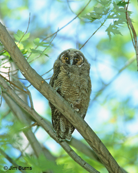 Long-eared Owl juvenile