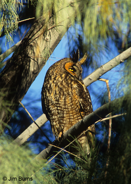 Long-eared Owl on roost