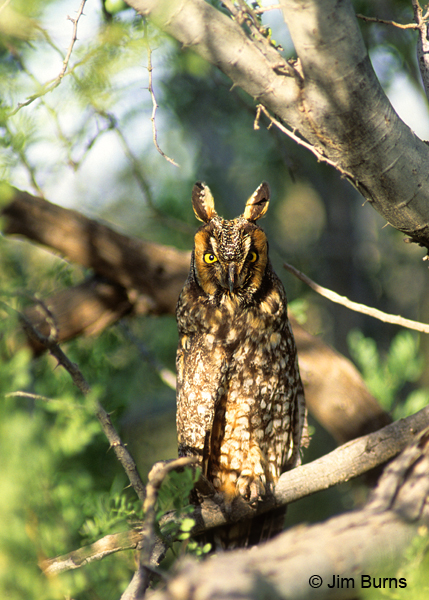 Long-eared Owl #2
