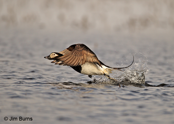 Long-tailed Duck liftoff