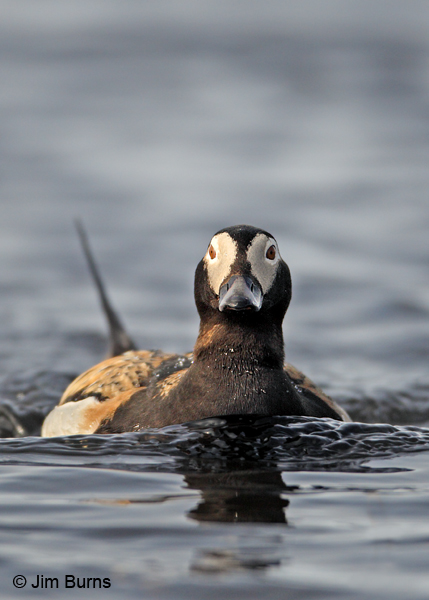 Long-tailed Duck male making waves