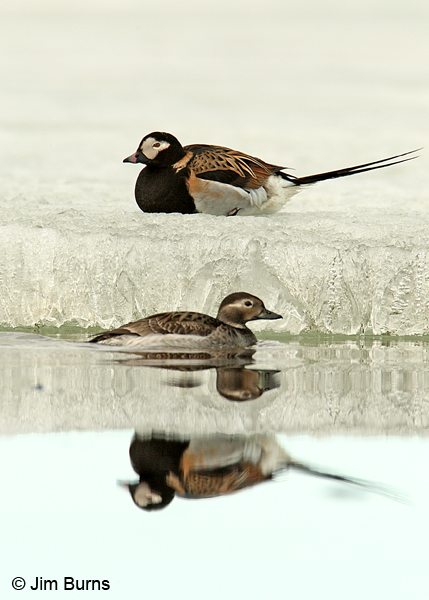 Long-tailed Duck pair on ice