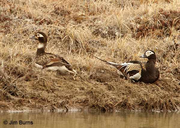 Long-tailed Duck pair on tundra