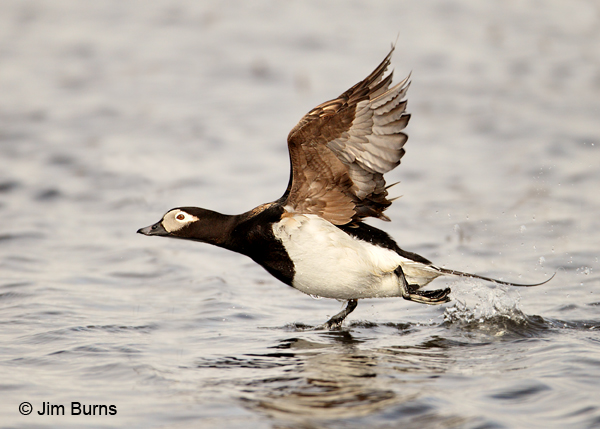 Long-tailed Duck walking on water