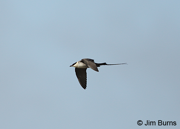 Long-tailed Jaeger adult in flight