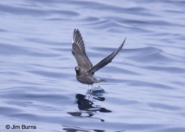 Long-tailed Jaeger juvenile dark morph in flight
