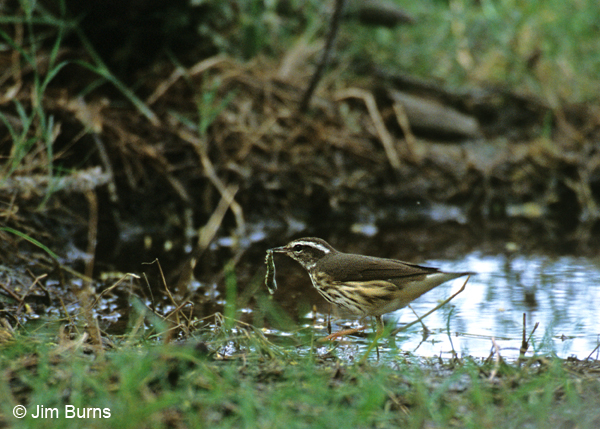 Louisiana Waterthrush with worm