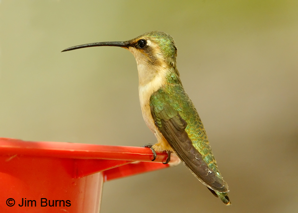 Lucifer Hummingbird female on feeder
