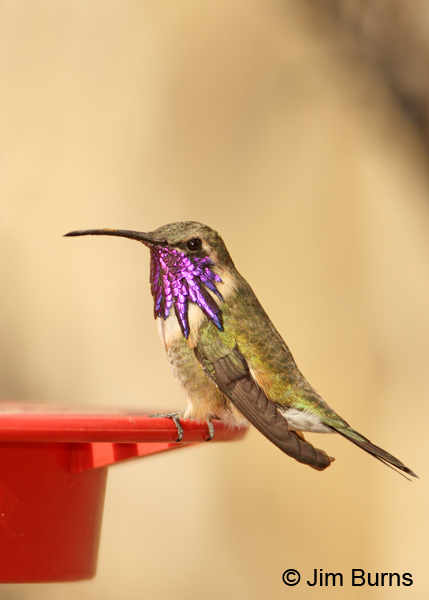 Lucifer Hummingbird male on feeder #2