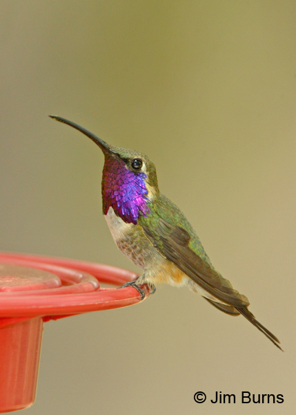 Lucifer Hummingbird male on feeder