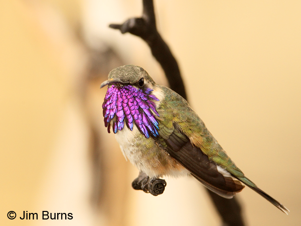 Lucifer Hummingbird photo - Greg Lavaty photos at pbase.com