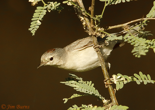 Lucy's Warbler male in mesquite tree--2096