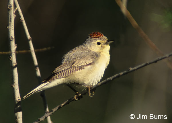 Lucy's Warbler male