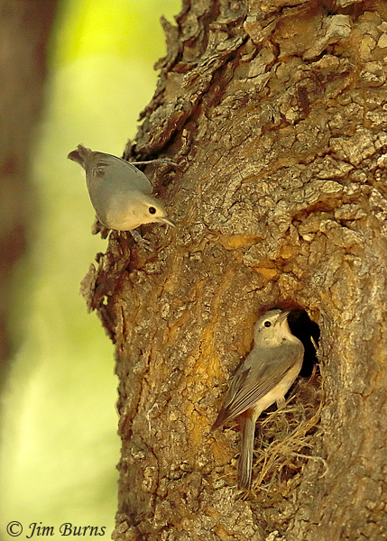 Lucy's Warbler pair at nest cavity--3419