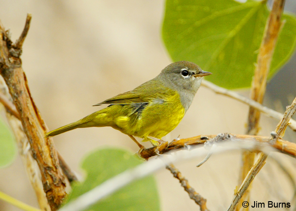 MacGillivray's Warbler first fall male