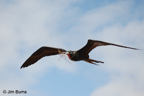 Magnificent Frigatebird male with nesting material