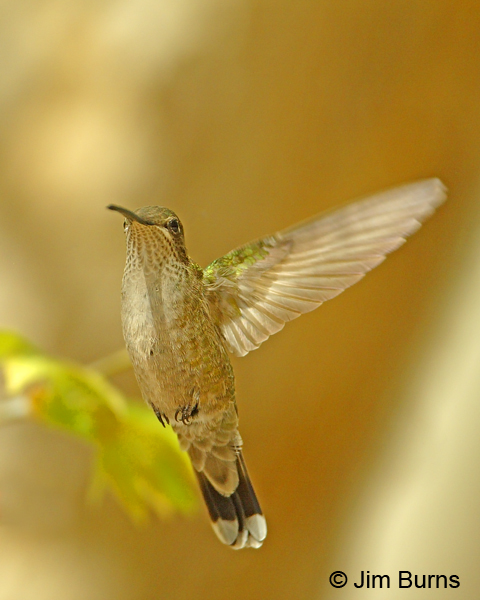 Magnificent Hummingbird female hovering