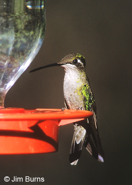 Magnificent Hummingbird female