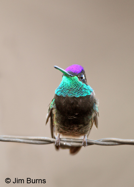 Magnificent Hummingbird male on fencewire #2