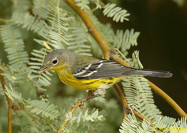 Magnolia Warbler first fall male chipping--7938
