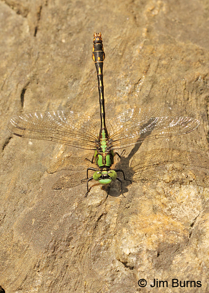 Maine Snaketail male dorsal view, Caledonia Co., VT, July 2014.