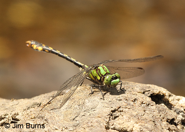 Maine Snaketail male thorax, Caledonia Co., VT, July 2014