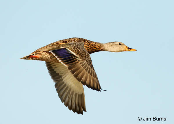 Mallard female in flight