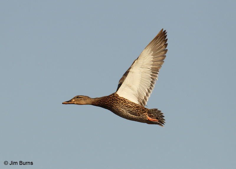 Mallard juvenile in flight