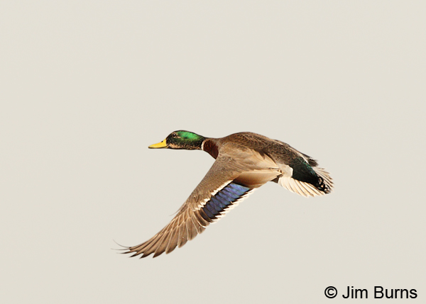 Mallard male in flight on white