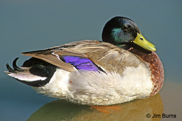 Mallard male purple speculum
