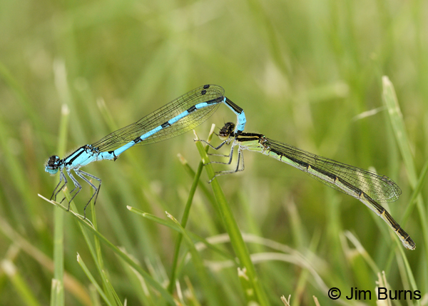 Marsh Bluet pair in tandem, St. Louis Co., MN, July 2012