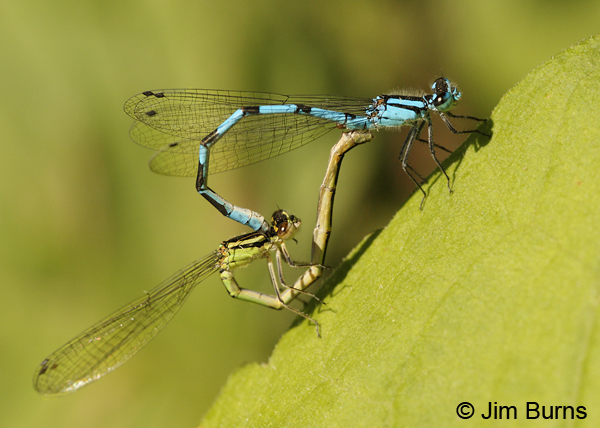 Marsh Bluet pair in wheel, St. Louis Co., MN, July 2012