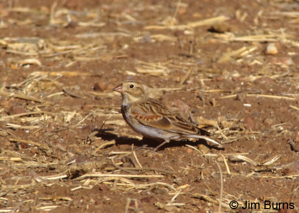 McCown's Longspur winter