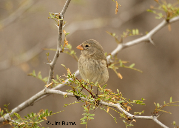 Medium Ground-Finch female