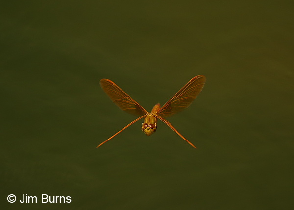 Mexican Amberwing male in flight, Maricopa Co., AZ, May 2014