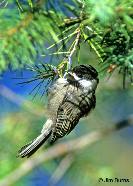 Mexican Chickadee hanging eight