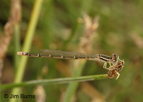 Mexican Forktail immature andromorph female, Pinal Co., AZ, May 2016
