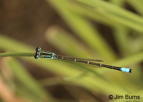 Mexican Forktail male dorsal view, Santa Cruz Co., AZ, September 2013