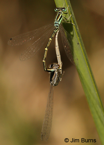 Mexican Forktail pair in wheel, Maricopa Co., AZ, April 2012