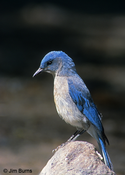 Mexican Jay on rock