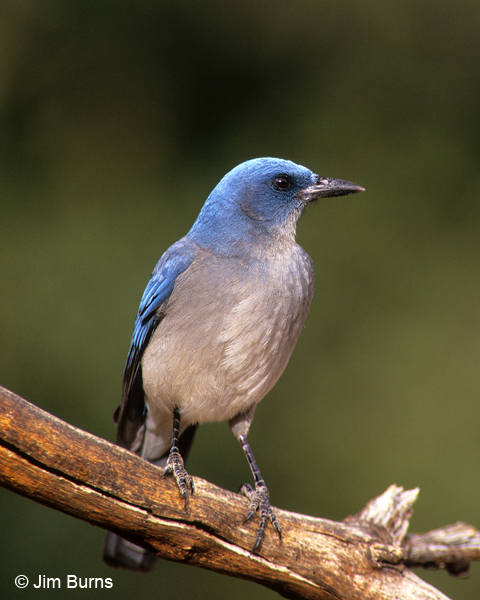 Mexican Jay ventral