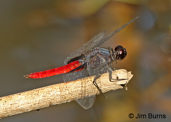 Mexican Scarlet-tail male, Hidalgo Co., TX, October 2014