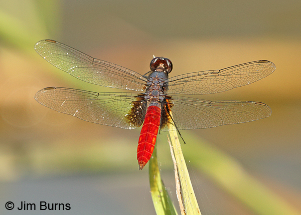 Mexican Scarlet-tail male dorsal view, Hidalgo Co., TX, October 2014