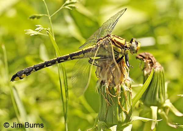 Midland Clubtail female, Chisago Co., MN, June 2014.