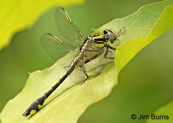 Midland Clubtail female eating fly, Vilas Co., WI, June 2014