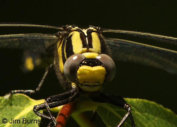Midland Clubtail female showing unmarked face, Vilas Co., WI, June 2014