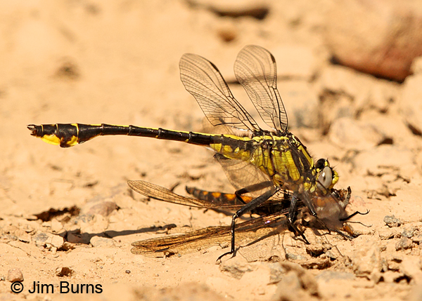 Midland Clubtail male eating Beaverpond Baskettail, Burnett Co., MN, June 2014