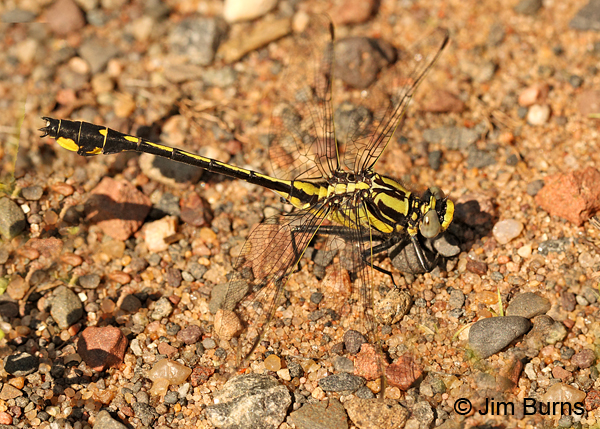 Midland Clubtail male obelisking, Chisago Co., MN, June 2014
