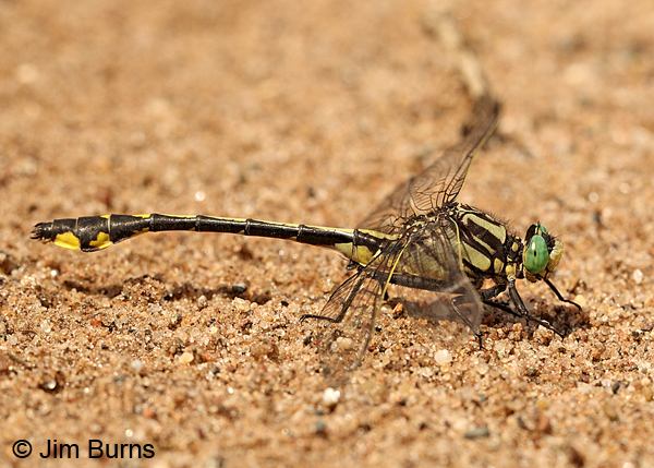 Midland Clubtail mature male, Chisago Co., MN, June 2014