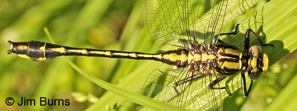 Midland Clubtail teneral male showing yellow spot on S9, Washington Co., MN, June 2014